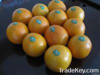 New Navel Oranges