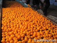 Nanfeng Baby Mandarine
